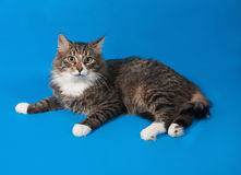 Fluffy tabby cat teenager lying on blue Royalty Free Stock Photos