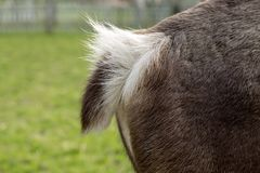 Fluffy tail of a deer, side view of a back part stock photography