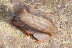 Fluffy tail of red squirrel Royalty Free Stock Photography