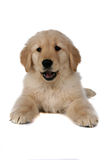 Fluffy tan puppy on its belly on the floor Stock Photo