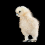 fluffy teddy bear looking baby chick Stock Photo