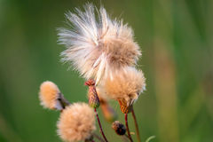 Fluffy thistle seeds close up in evening Royalty Free Stock Photos