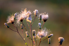 Fluffy thistle seeds Royalty Free Stock Photography