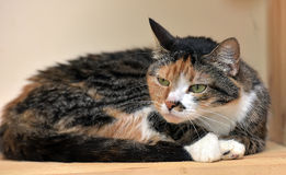 Fluffy three-colored cat Royalty Free Stock Image