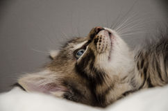 A fluffy tigrécolored kitten Royalty Free Stock Photography