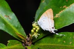 Fluffy Tit Butterfly Royalty Free Stock Images