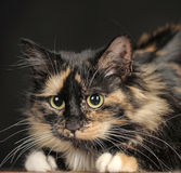 Fluffy tortoiseshell cat Royalty Free Stock Photography