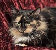 Fluffy tortoiseshell cat Stock Photography