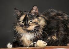 Fluffy tortoiseshell cat Stock Image