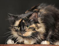 Fluffy tortoiseshell cat. On a dark background in the studio royalty free stock images