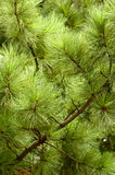 Fluffy tree Royalty Free Stock Photography