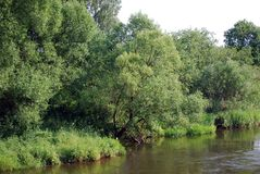 Fluffy trees and Iva`s bushes grow on the bank of the small small river. Summer sunny day on the river bank. Nature. Russia stock images