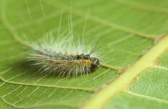 Fluffy vermin caterpillar Stock Photo