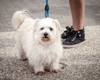 Fluffy West Highland White Terrier on Leash near Owner's Legs Stock Photos
