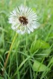 Fluffy wet dandelion Stock Image