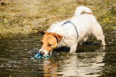Fluffy and wet terrier dog playing in puddle with a ball. Jack Russell Terrier playing at spring park Stock Images
