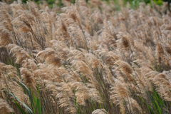 Fluffy wheat stems blowing in the wind Stock Images