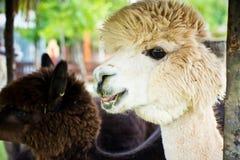 Fluffy white alpaca Stock Photo