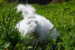 Angora Rabbit Stock Image