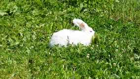 Angora Rabbit. Fluffy white angora rabbit and green grass background stock photos