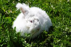 Angora Rabbit. Fluffy white angora rabbit and green grass background stock image