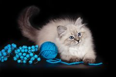 Fluffy beautiful kitten Nevskaya Masquerade with blue eyes posing with a ball of woolen threads on a black background. stock photos