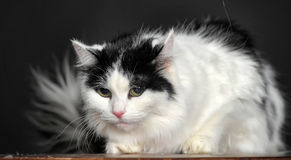 Fluffy white with black cat  on a gray background Stock Photography