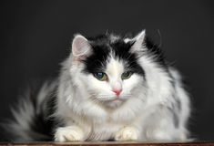 Fluffy white with black cat  on a gray background Stock Images