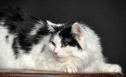 Fluffy white with black cat  on a gray background Royalty Free Stock Image