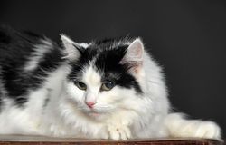 Fluffy white with black cat  on a gray background Royalty Free Stock Photo