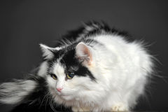 Fluffy white with black cat  on a gray background Royalty Free Stock Photography