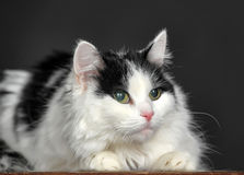 Fluffy white with black cat  on a gray background Royalty Free Stock Photos