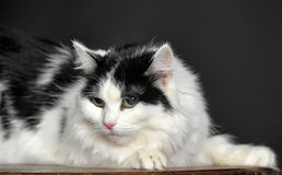 Fluffy white with black cat Royalty Free Stock Photo
