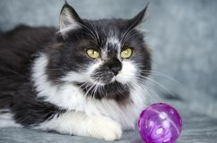 Fluffy white and black medium hair kitten with cat toy. Male 5 month old black and white fluffy medium hair kitten with purple cat toy. Animal adoption stock photos