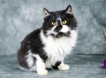 Fluffy white and black medium hair kitten. Male 5 month old black and white fluffy medium hair kitten. Animal adoption photography for Walton County Animal stock images