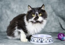Fluffy white and black medium hair kitten. Male 5 month old black and white fluffy medium hair kitten with purple cat toy and pet food bowl. Animal adoption royalty free stock photos