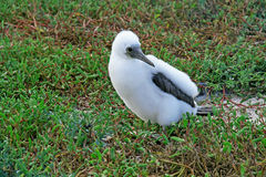 Fluffy white blue-footed booby chick Stock Photo