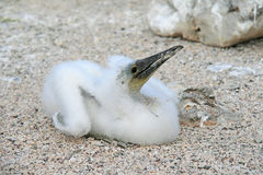 Fluffy white blue-footed booby chick Royalty Free Stock Photography