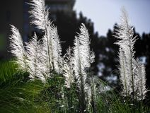 Pampas grass -Cortaderia selloana. Fluffy white branches of the cortaderia against the blue sky Stock Images