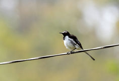 Fluffy White-browed wagtail Stock Photography