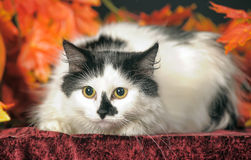 Fluffy white  cat with black spots on a background of autumn leaves Royalty Free Stock Images