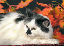 Fluffy white  cat with black spots on a background of autumn leaves Stock Photo