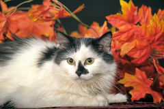 Fluffy white  cat with black spots on a background of autumn leaves Royalty Free Stock Photo