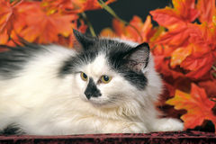 Fluffy white  cat with black spots on a background of autumn leaves Stock Image