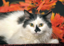 Fluffy white  cat with black spots on a background of autumn leaves Royalty Free Stock Photography