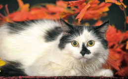 Fluffy white  cat with black spots on a background of autumn leaves Royalty Free Stock Photos