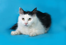 Fluffy white cat with black spots lies on blue Royalty Free Stock Photo