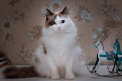 Fluffy white cat with brown ears and tail sitting on the table with toy horses... Fluffy white cat with brown ears and tail sits on the table next to toy metal royalty free stock photo