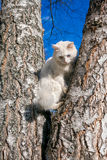Fluffy white cat with different eyes Royalty Free Stock Image