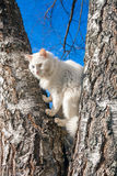 Fluffy white cat with different eyes Royalty Free Stock Photo